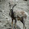Bighorn sheep kid - infant - shedding its wool