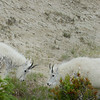 mountain-goat-pictures8229