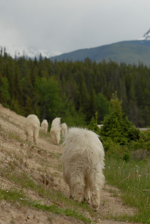mountain-goat-pictures8238