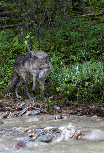 wolf-photograph9238