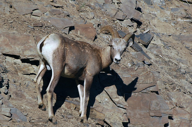 bighorn sheep on a cliff - Nature Stock Image by Professional Nature Photographer Christina Craft