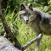 wolf-photograph9229