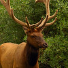 Closeup of a wapiti elk - Nature Stock Image by Professional Nature Photographer Christina Craft