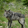 wolves-stockpictures9055