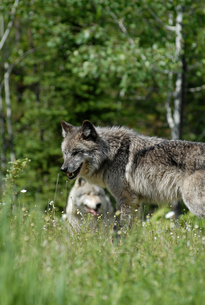 wolves-stockpictures9052