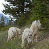 mountain-goat-pictures8233