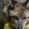 wolf-photograph9227