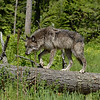 wolf-photograph9225