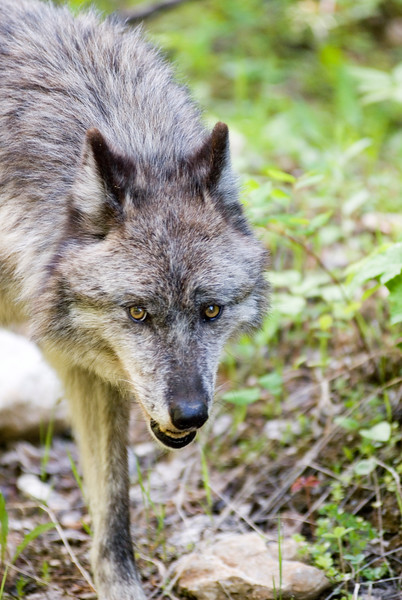 wolves-stockpictures9033