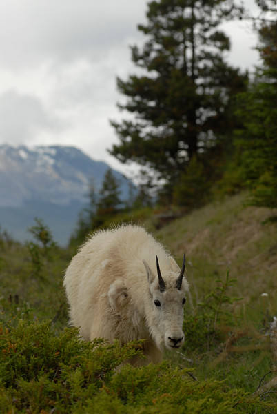 mountain-goat-pictures8237