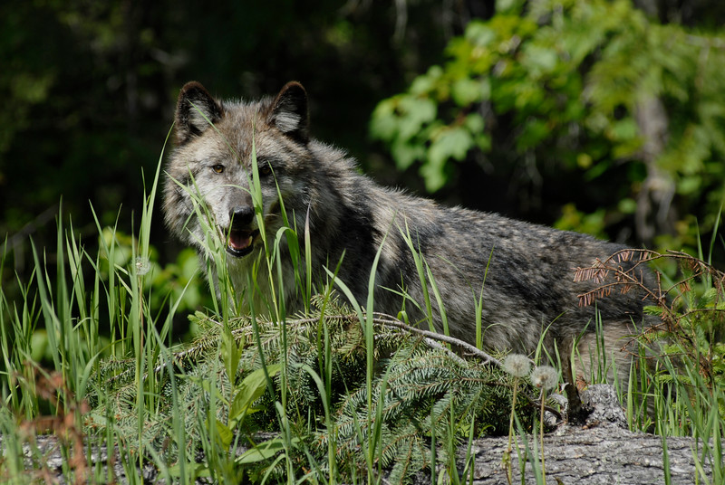 wolf-photograph9228