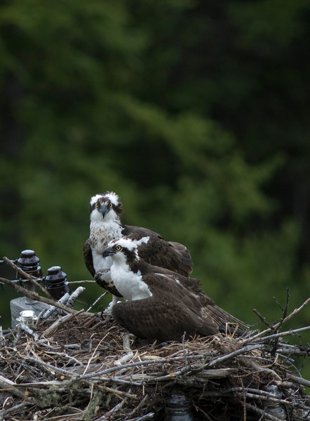 osprey action photography8606