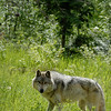 wolf-photograph9230