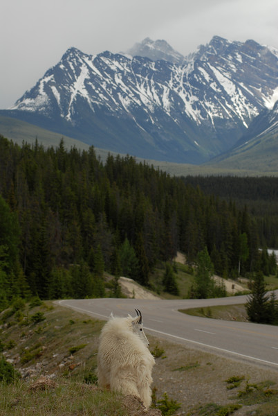 mountain-goat-pictures8239