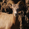 Bighorn sheep at a cliff - Nature Stock Image by Professional Nature Photographer Christina Craft