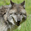 wolf-photograph9231
