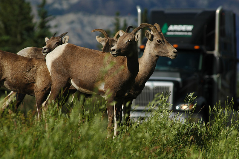 Bighorn sheep of the Rocky Mountains with a transport traick waiting for them to cross the highway - Rocky Mountain landscape mountains scenic landscape - Photograph by professional nature stock photographer Christina Craft
