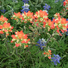 Indian Paintbrush and Texas Bluebonnet