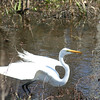 White Heron  not quick enough with second shot.