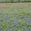 Texas Bluebonnets & Indian Paintbrush