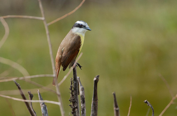 Great Kiskadee:  Fairly common, found mostly in South Texas and near Mexican Shores.  Great flash of yellow when seen from the front.