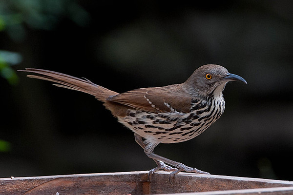 LONG-BILLED THRASHER:  Found in south Texas and eastern coast of Mexico. It always seems to have an angry look.