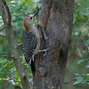 GOLDEN-FRONTED WOODPECKER Male: One of 5 new species of woodpeckers that we saw on our trip.  Found mostly in Texas and East Mexico.