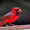 NORTHERN CARDINAL:  A treat for us from Western Canada.  Not uncommon and easy to spot.
