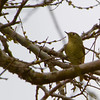 ORANGE-CROWNED WARBLER: This one we see in Calgary during the migration.  Note the buds on the trees (end of January)