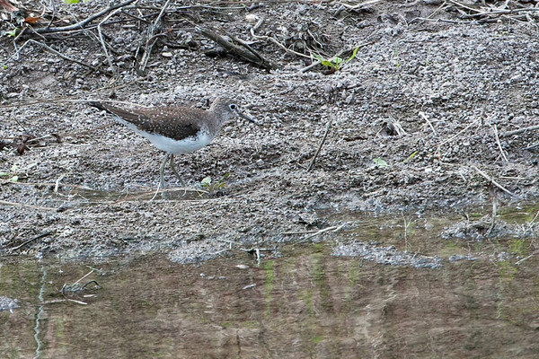 SOLITARY SANDPIPER: Migrates from Alaska and Canada to Carribean.