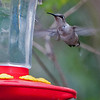 Hummingbird:  Either an Anna's or a Ruby throated hummingbird.  There were very few humming birds around as most had migrated south.