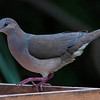WHITE-TIPPED DOVE: Located Brownsville area of Texas and near Mexican shores.