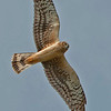 NORTHERN HARRIER: This was a fairly common hawk around Brownsville.