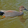 GADWALL DUCK: Another bird we see in Western Canada.  In breeding plumage.