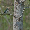 GREEN KINGFISHER: Smallest of the three Kingfishers we saw on our visit (Belted, Ringed and Green).  In USA found  mostly in South Texas.