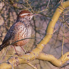 This is a Cactus Wren