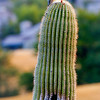 Imagine having a saguaro cactus for a home.