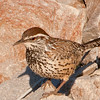 The Cactus Wren is very common and  is the largest wren.  It is Arizona's State Bird.
