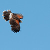 The Harris's Hawk is a very intellegent bird that usually groups in families.  Often they will hunt together especially for prey such as rabbits.