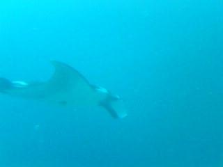 Manta ray at Koh Bon, Andaman Sea, March 2011.
