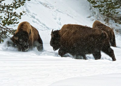 Young Male Bison Spar