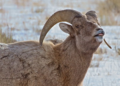 Male Rocky Mountain Sheep calls to his harem in Teton National Park just outside of Jackson Hole, Wyoming