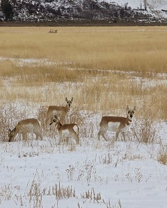 Pronghorn Antelope Grazing in the Teton National Park just outside of Jackson Hole, Wyoming