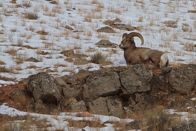 Male Rocky Mountain Sheep in Teton National Park just outside of Jackson Hole, Wyoming