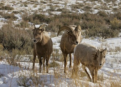 Rocky Mountain Sheep in Teton National Park just outside of Jackson Hole Wyoming