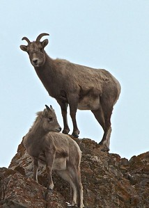 Rocky Mountain Sheep in the Teton National Park 2 miles from Jackson Hole, Wyoming