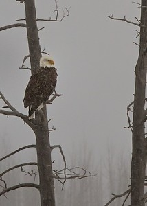 Bald Eagle near the South Entrance to Yellowstone National Park