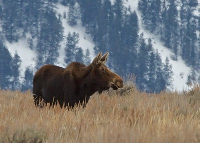 Female Moose Grazing in the Teton National Park just outside of Jackson Hole, Wyoming
