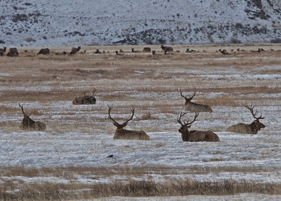 Bull Elks at rest in the National Elk Refuge just outside of Jackson Hole, Wyoming