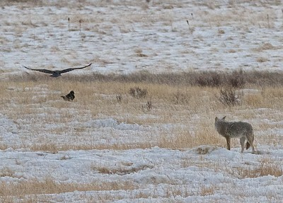 Coyote and Raven in the National Elk Refuge that runs right up against the town of Jackson Hole, Wyoming